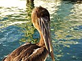 J'ai une belle tête, n'est ce pas^ - Who is saying a young pelican cant be nice... - panoramio.jpg