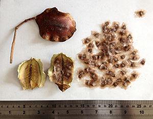 Jacaranda - Image: Jacaranda seeds