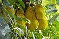 Jack fruit tree 02.jpg