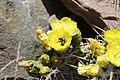 Jardin Botanico de Altura - Opuntia ficus-indica 02.jpg