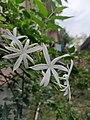 Jasmine, Jasminum multipartitum, the starry wild jasmine or imfohlafohlane.jpg