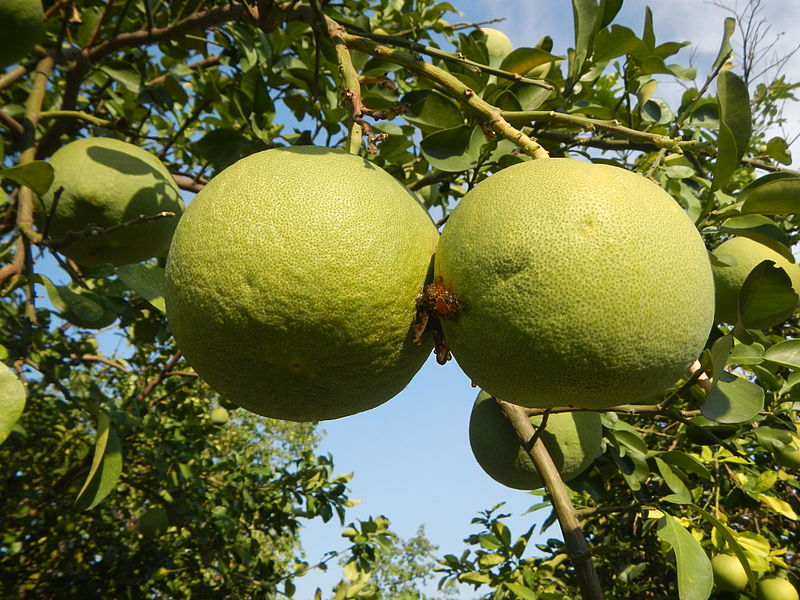 Pomelo czyli Pomarańcza olbrzymia