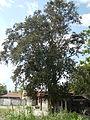 Jf5933Lubao San Nicolas Chrysophyllum cainito Pampangafvf 09.JPG