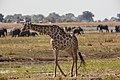 Jirafa (Giraffa camelopardalis), parque nacional de Chobe, Botsuana, 2018-07-28, DD 42.jpg
