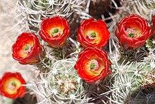 Joshua Tree National Park - Mojave Mound Cactus (Echinocereus triglochidiatus) - 11.JPG