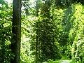 June Grüne Hölle Bergwälder Glottertal - Mythos Black Forest Photography 2013 green mountain forest - panoramio (7).jpg