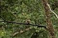 Jungle Owlet portrait.jpg
