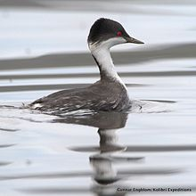 Junin-Grebe-Podiceps-tacznowskii Photo - Gunnar Engblom, Kolibri Expeditions.jpg