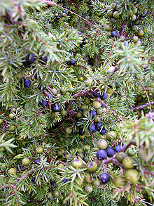 Purple And Younger Green Juniper Berries Can Be Seen Growing Alongside One Another On The Same Plant