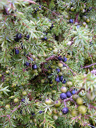 Juniper berry - Mature purple and younger green juniper berries can be seen growing alongside one another on the same plant.