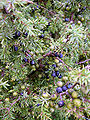 Juniperus communis at Valjala on 2005-08-11.jpg