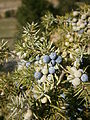 Juniperus communis fruits.JPG