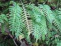 Kallioimarre Polypodium vulgare H8787 C.jpg