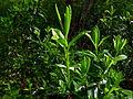 Kalmia angustifolia im NSG-HA44.JPG