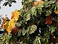 Kanak Champa (Pterospermum acerifolium) at Jayanti, Duars, West Bengal W IMG 5314.jpg