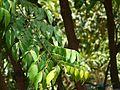 Karambala (Konkani- करंबल) (2464058777).jpg