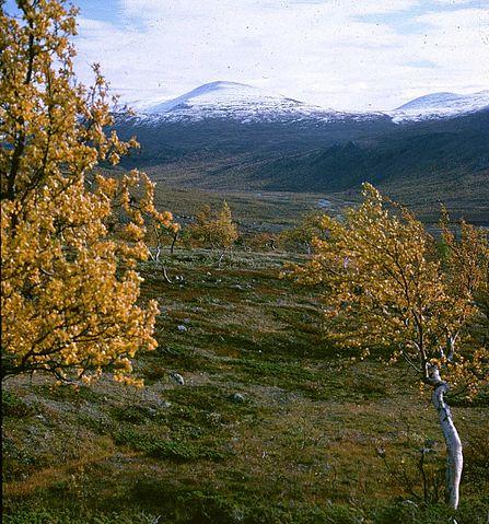 Kalfjäll (bortom fjällbjörkarna).