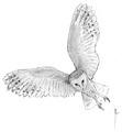 Kerkuil Tyto alba Jos Zwarts 5.tif