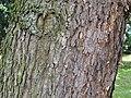 Keteleeria davidiana1.jpg