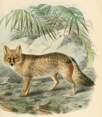 Keulemans pampas fox.png