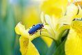 Kever op een bloem.jpg