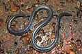 Khaire's Black Shieldtail Melanophidium khairei by Dr. Raju Kasambe DSCN1145 (29).jpg