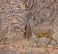Klipspringers (Oreotragus oreotragus) couple in the bush ... (33037817941).jpg