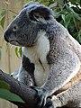 Koala at Currumbin Wildlife Sanctuary - Currumbin - Queensland - Australia - 03 (35913934515).jpg