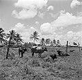 Koeien in de wei, Bestanddeelnr 252-5552.jpg