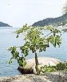 Koh Tao Mae Haad papaya.jpg