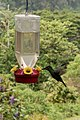 Kolibri in Panama (27211083022).jpg
