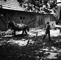 """Konji ženejo """"gepəl""""- meljejo jabolka za prešanje, Artiža vas 1950 (2).jpg"""