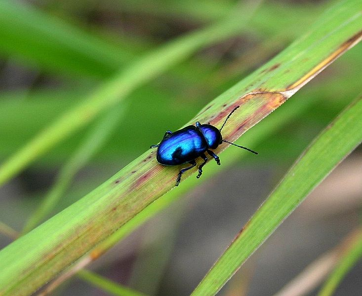 File:Korea-Seoul-Blue insect-01.jpg
