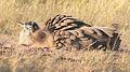 Kori bustard, Ardeotis kori, at Kgalagadi Transfrontier Park, Northern Cape, South Africa (33692670664).jpg