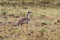 Kori bustard, Ardeotis kori, at Pilanesberg National Park, Northwest Province, South Africa (16326080154).jpg