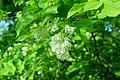 Korina 2018-04-30 Staphylea pinnata 2.jpg