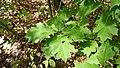 Korina 2018-09-01 Quercus rubra.jpg
