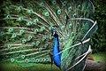 Kratochvile peacock - panoramio.jpg
