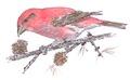 Kruisbek Loxia pytyopsittacus Jos Zwarts 4.tif