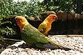 Kuala Lumpur Bird Park, Colorful parrots.jpg