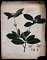 Kwei plant (Osmanthus fragrans); flowering stem with floral Wellcome V0044087.jpg