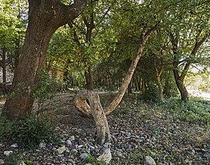 Carlencas-et-Levas - Image: L'arbre de la Chapelle Saint Pierre de levas, Carlencas et Levas Hérault France
