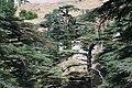 La forêt des Cèdres de Bcharré.JPG