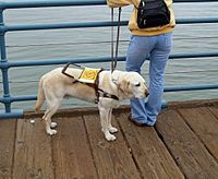 Labrador Retrievers are often used as assistance dogs.