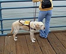 Utilizado como perro de asistencia a discapacitados