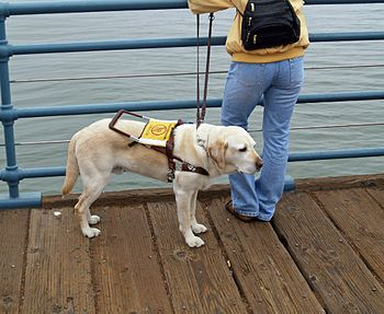 A Labrador Retriever working as an assistance ...