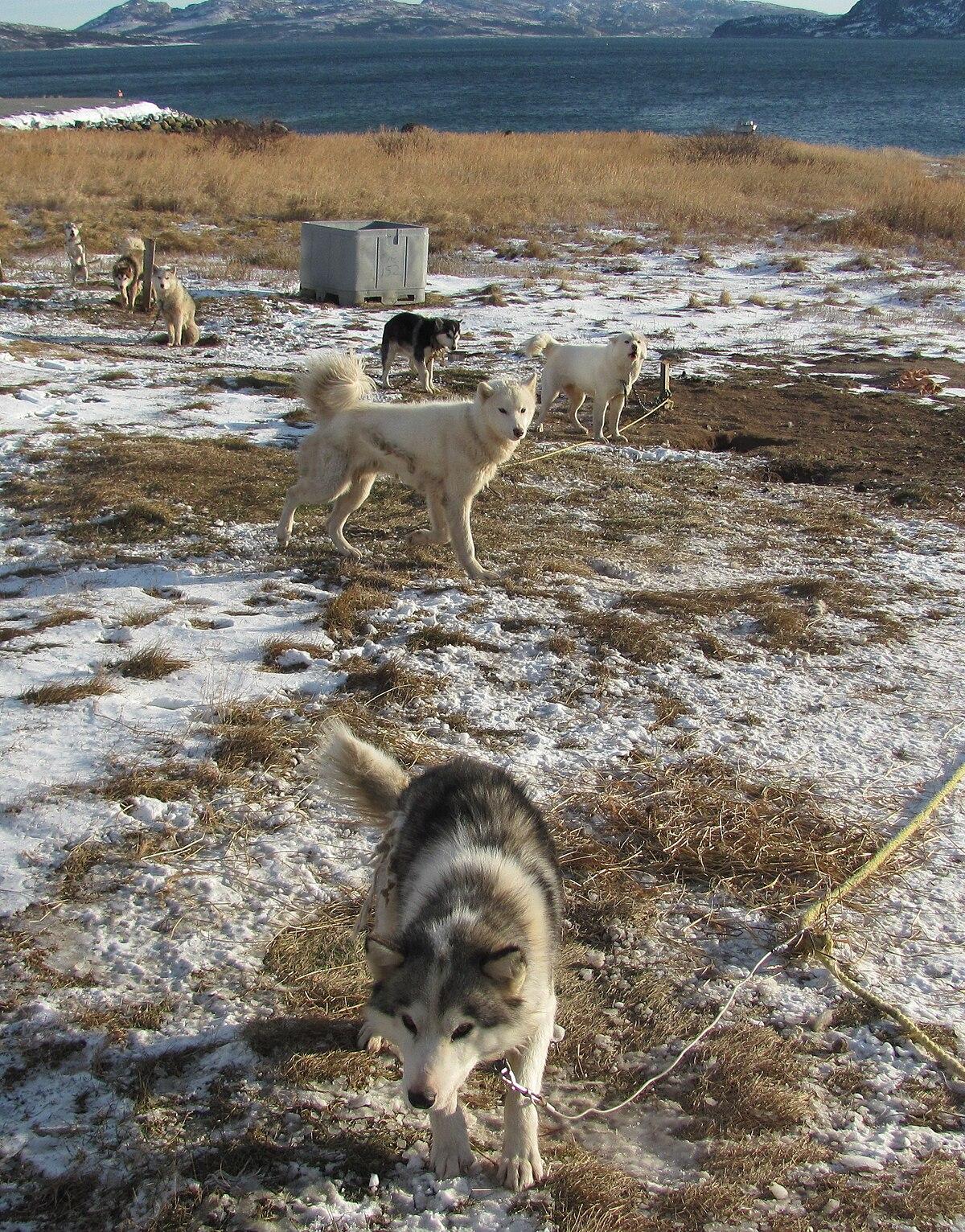Labrador Husky Wikipedia