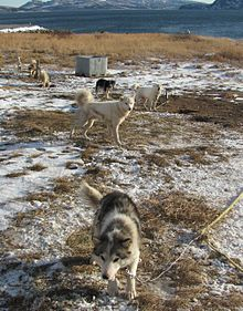 Labrador huskies.JPG