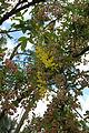 Laburnocytisus adamii (2944489898).jpg