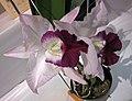 Laeliocattleya Memoria Robert Strait 'Blue Hawaii' -香港沙田國蘭展 Shatin Orchid Show, Hong Kong- (25048123752).jpg